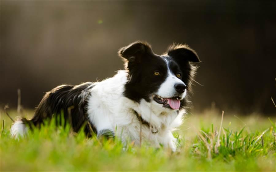 BBC認證!世界最聰明狗 記憶力驚人