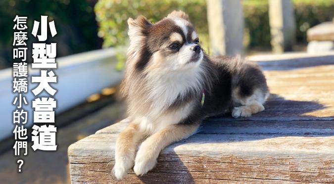 飼養小型犬時,怎麼照顧嬌小的他們?