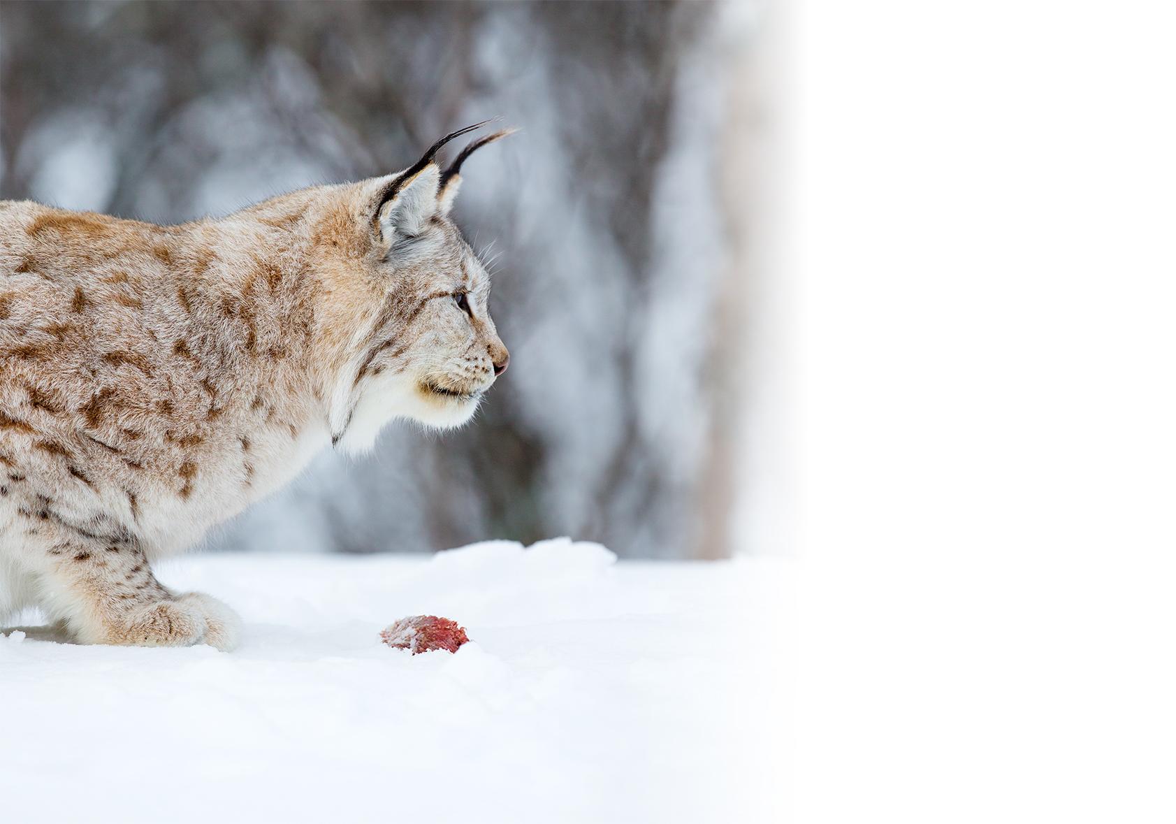 【小白知識】貓咪生食