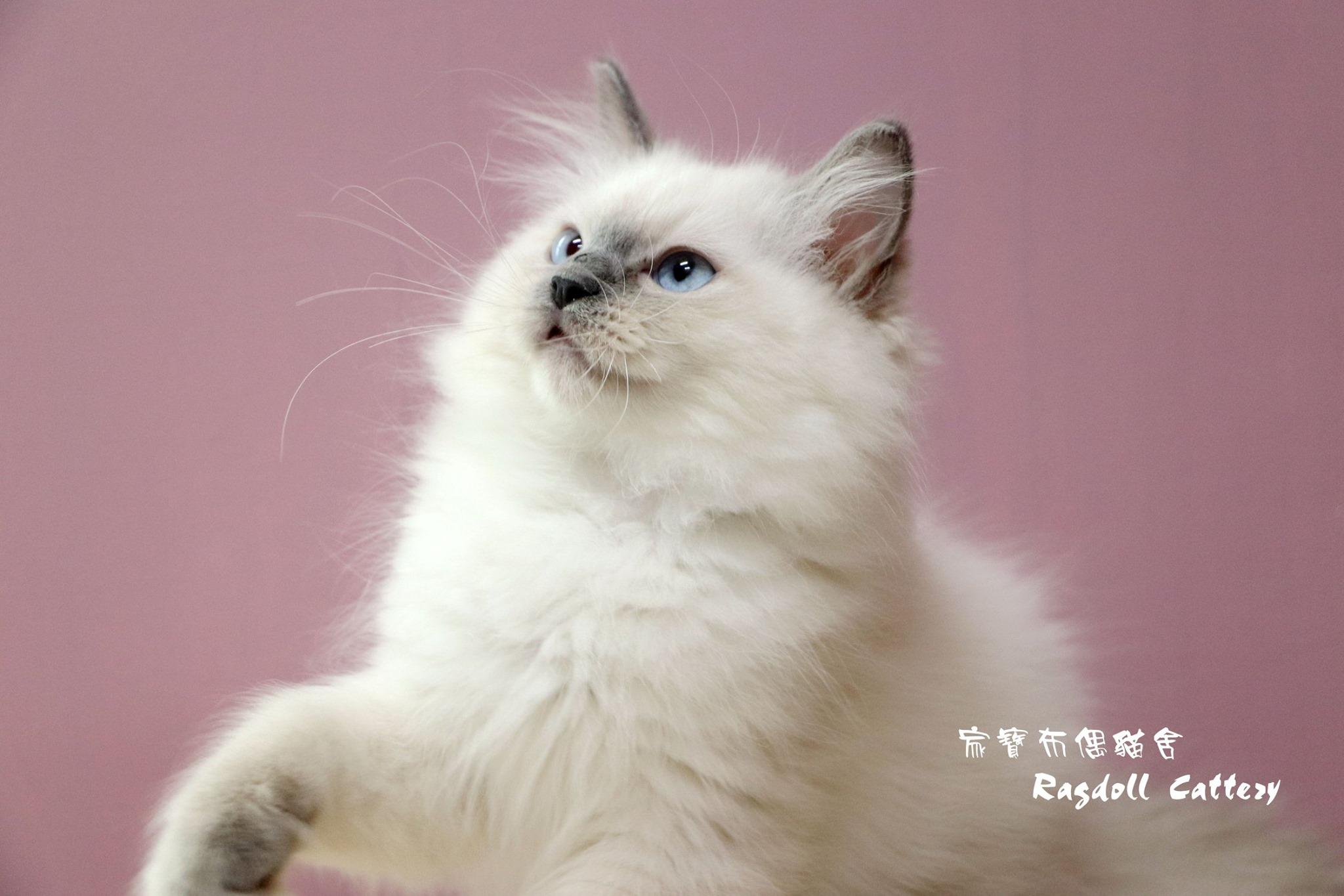 家寶寵物/藍重點布偶貓