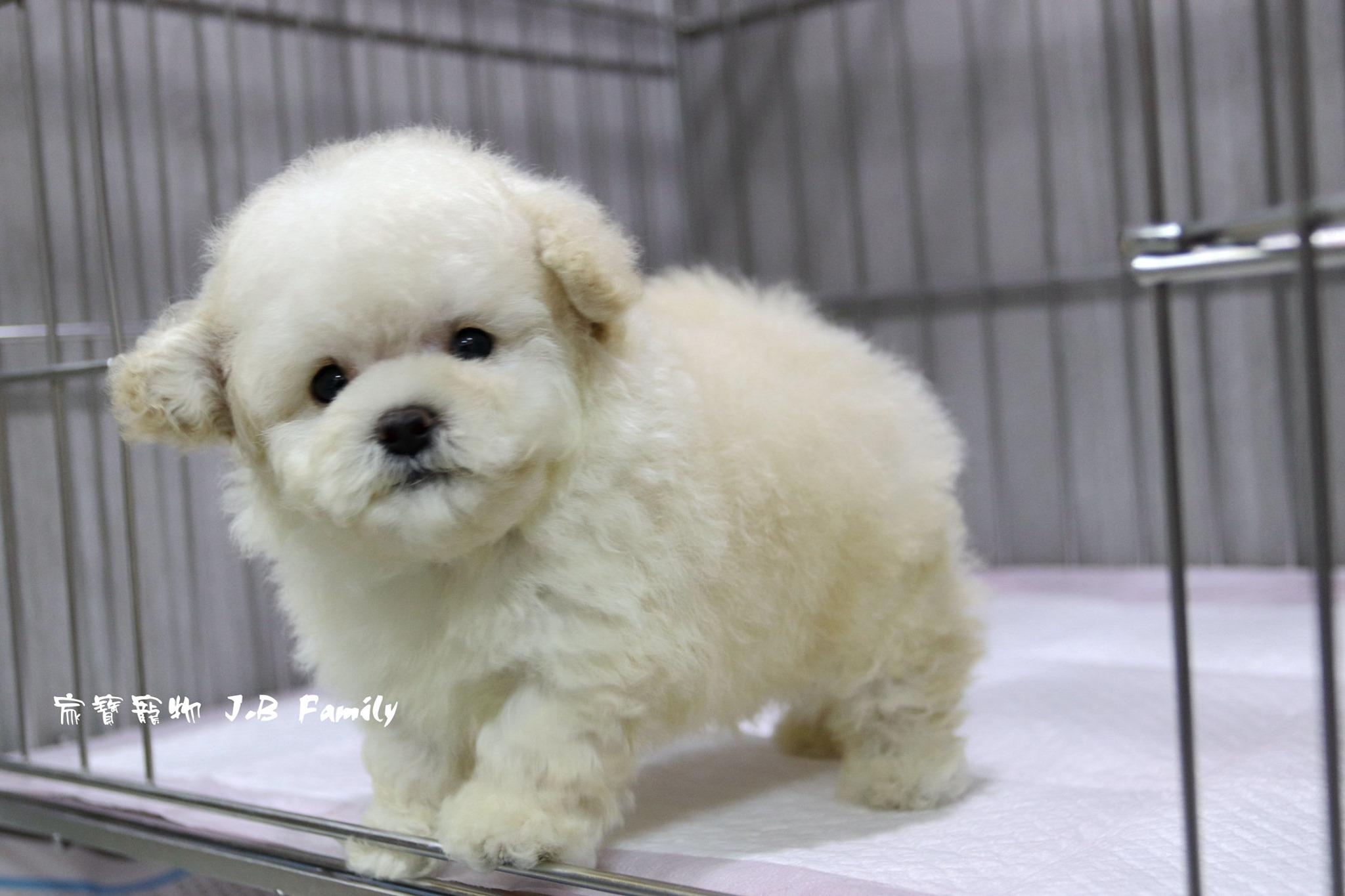 家寶寵物/白貴賓