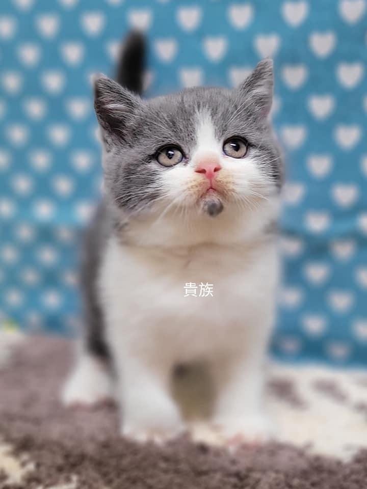 貴族寵物坊/藍白賓士英短