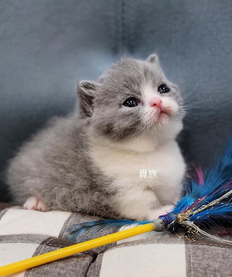 貴族寵物坊/藍白賓士曼赤肯