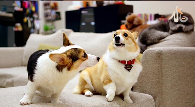 【狗狗知識】柯基很多種,你是哪一種