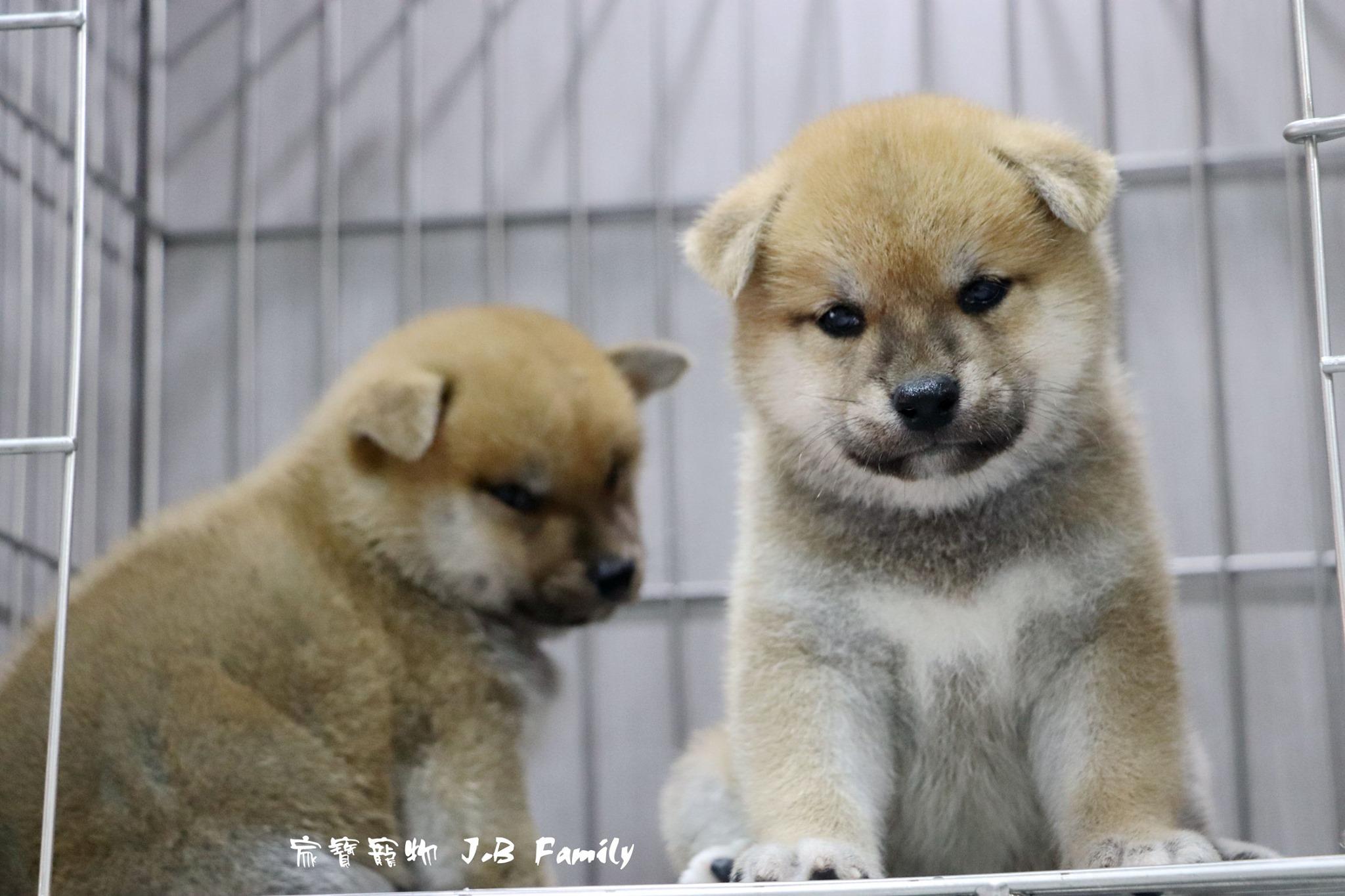 家寶寵物/赤色柴犬