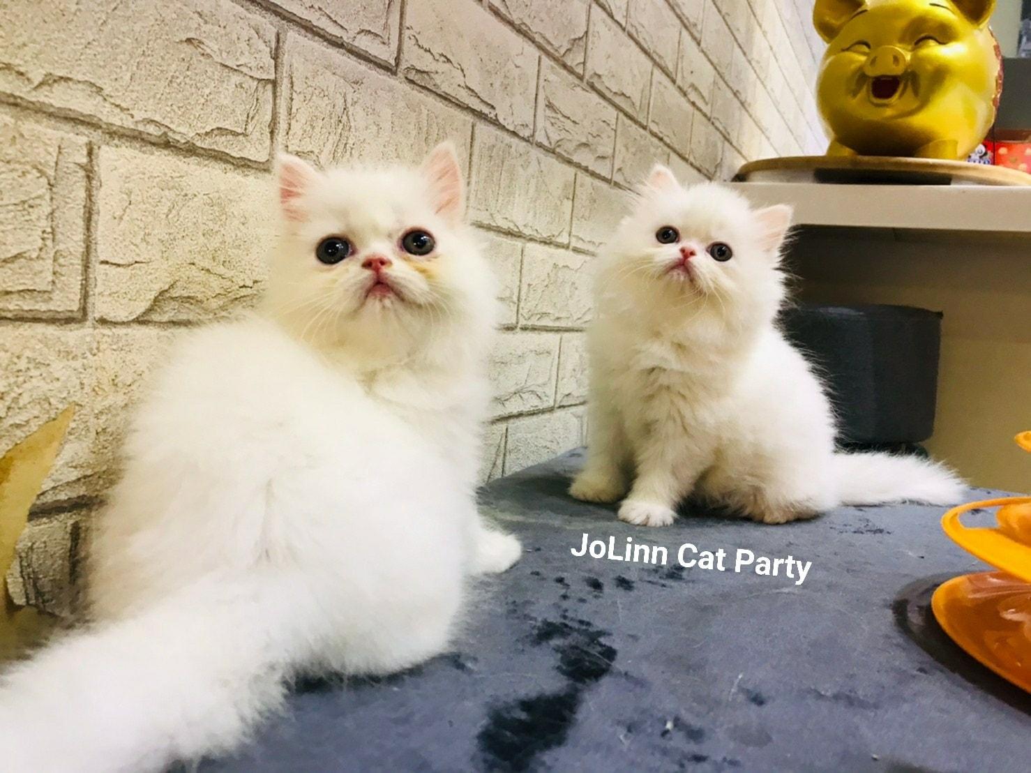 貓咪派對/白色波斯貓