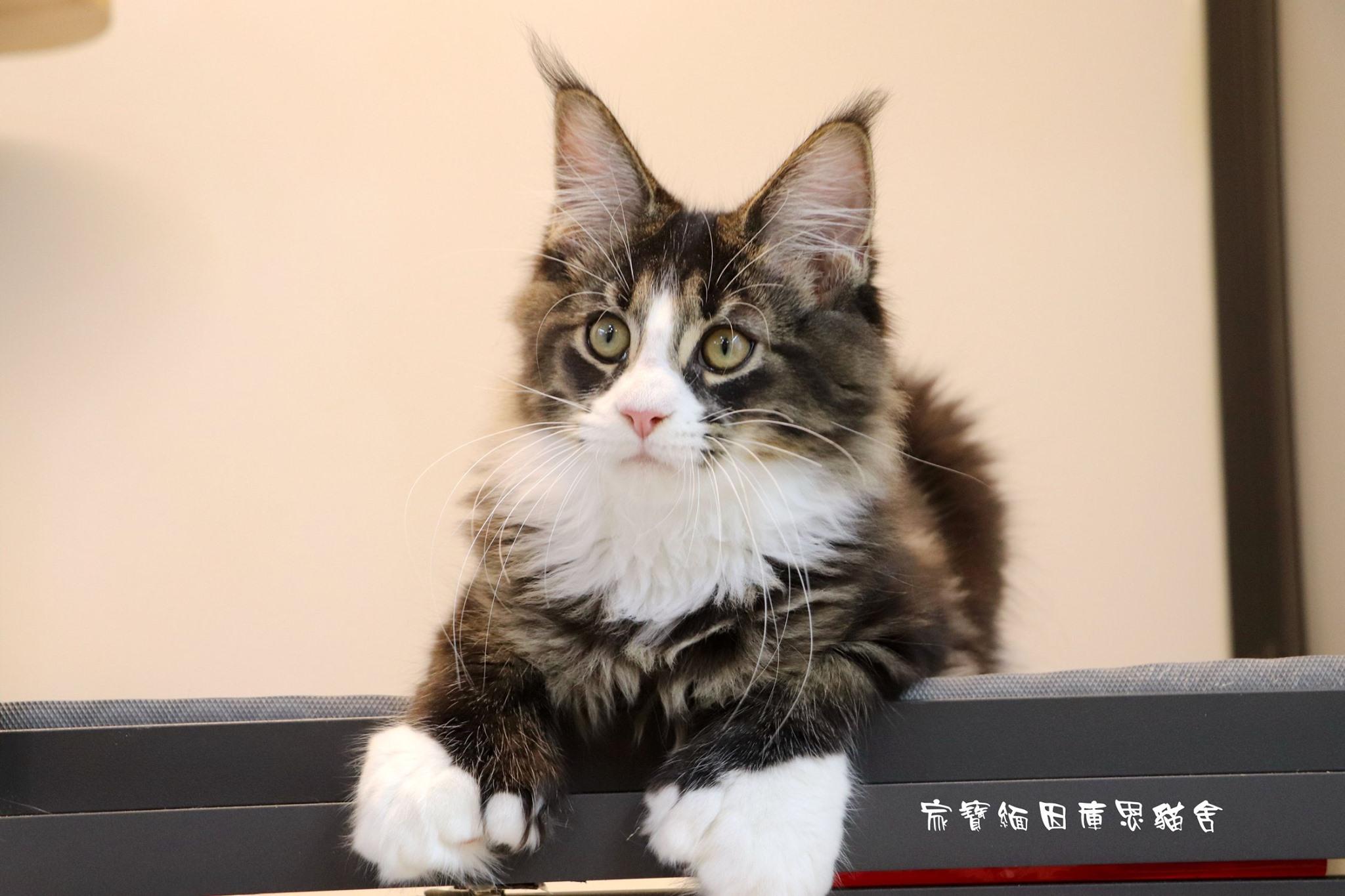 家寶寵物/虎斑賓士緬因貓
