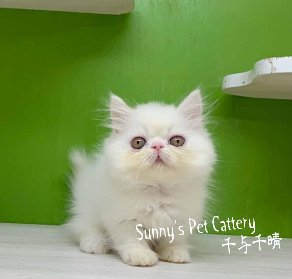 千晴寵物坊/純白小步舞曲貓