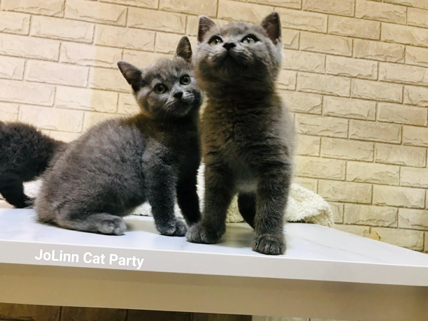 貓咪派對/藍色英國短毛貓