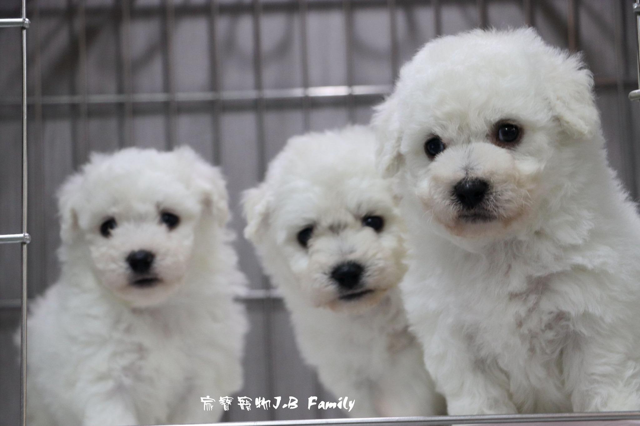 家寶寵物/棉花糖比熊犬