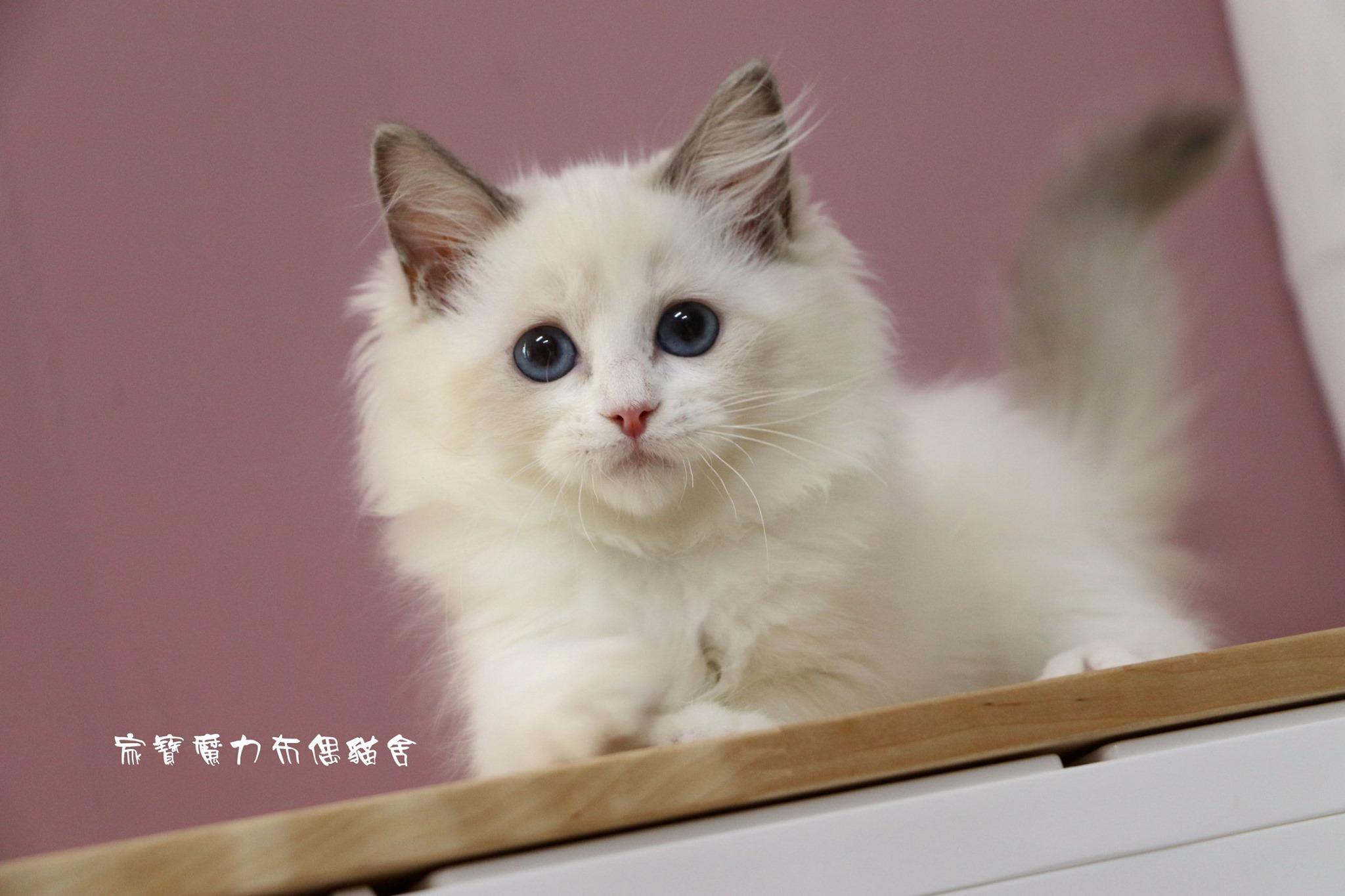 家寶寵物/藍雙色布偶貓女生