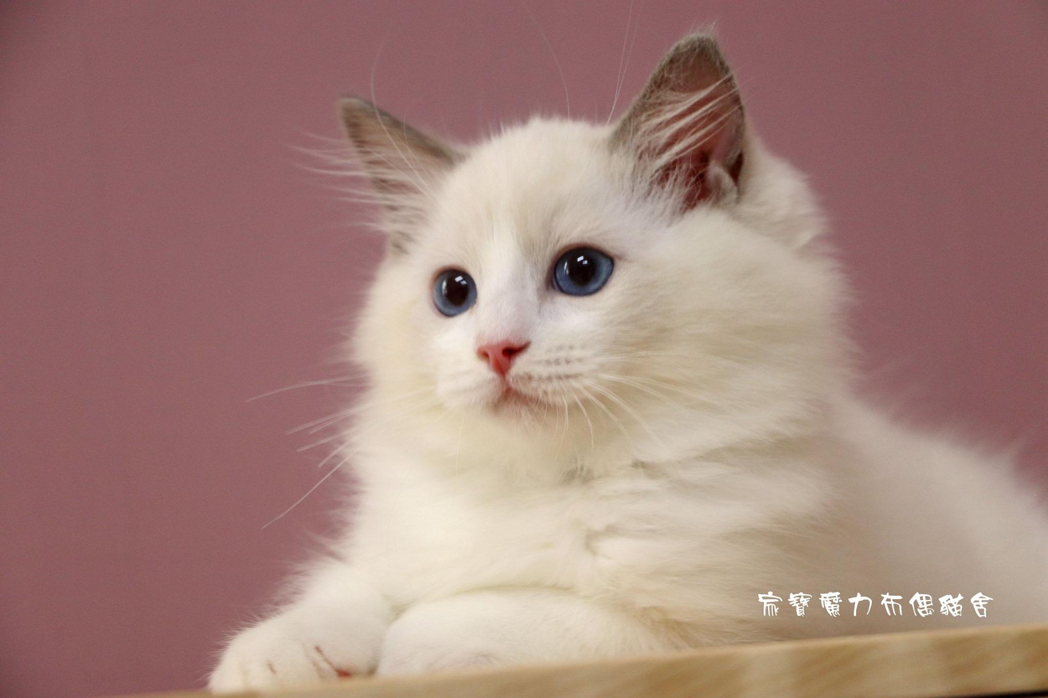 家寶寵物/藍雙色布偶貓男生