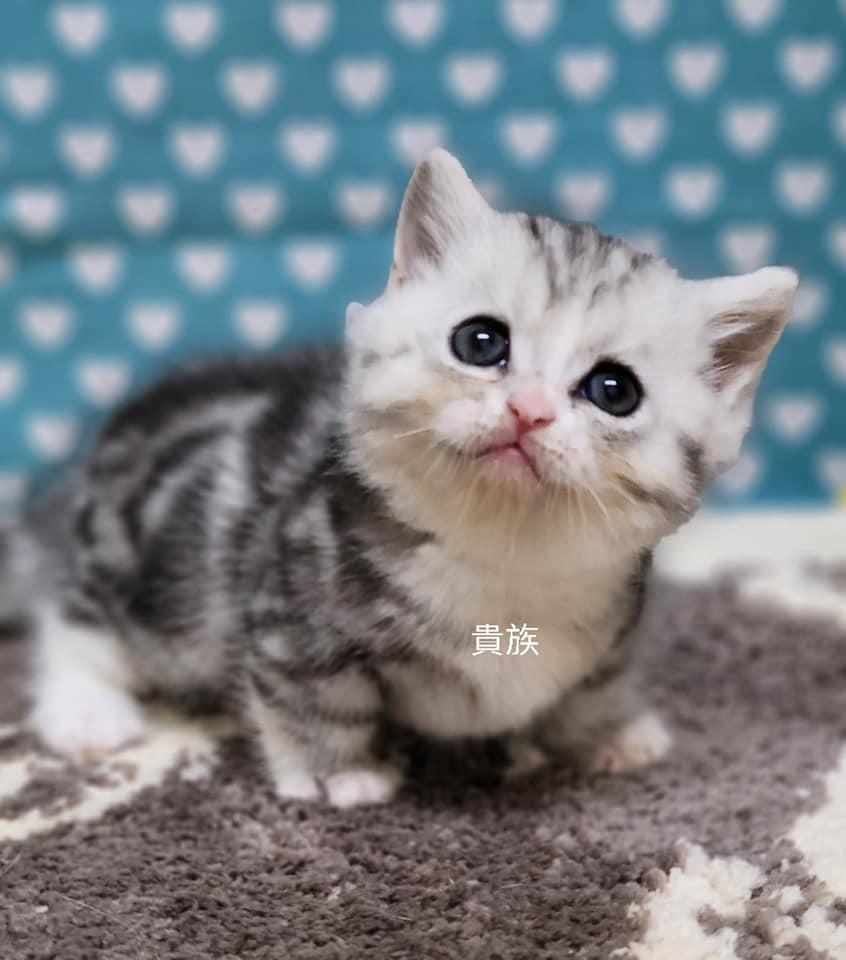 貴族寵物坊/加白美短紋賓士曼赤肯