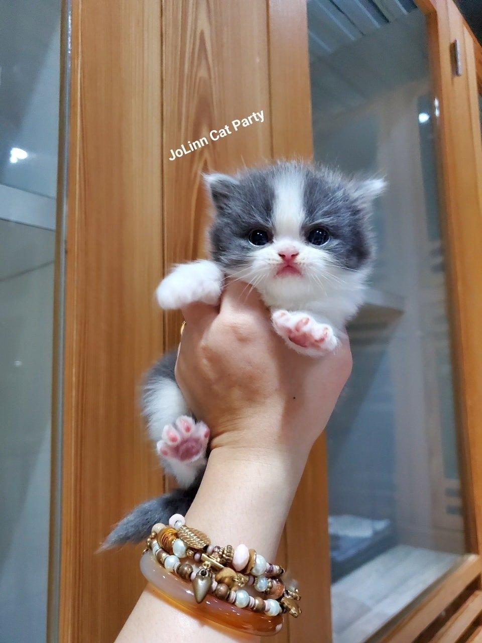 貓咪派對/藍白正賓士 長毛貓&短毛貓