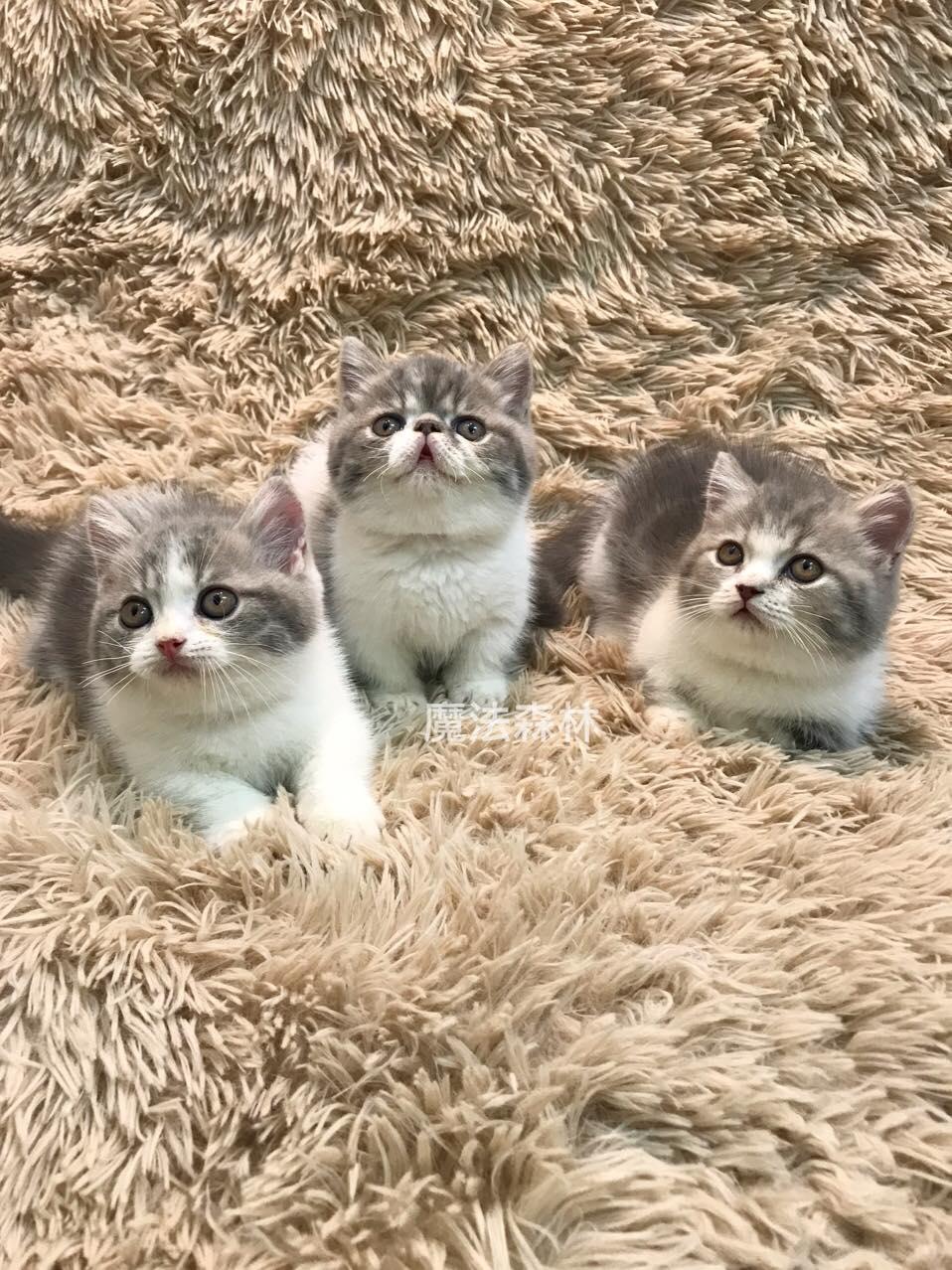 魔法森林/藍虎斑加白短腿三兄弟