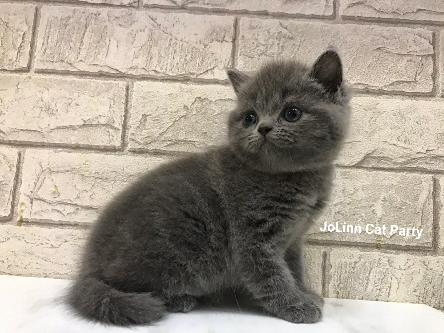 貓咪派對/肉圓臉 經典藍英短