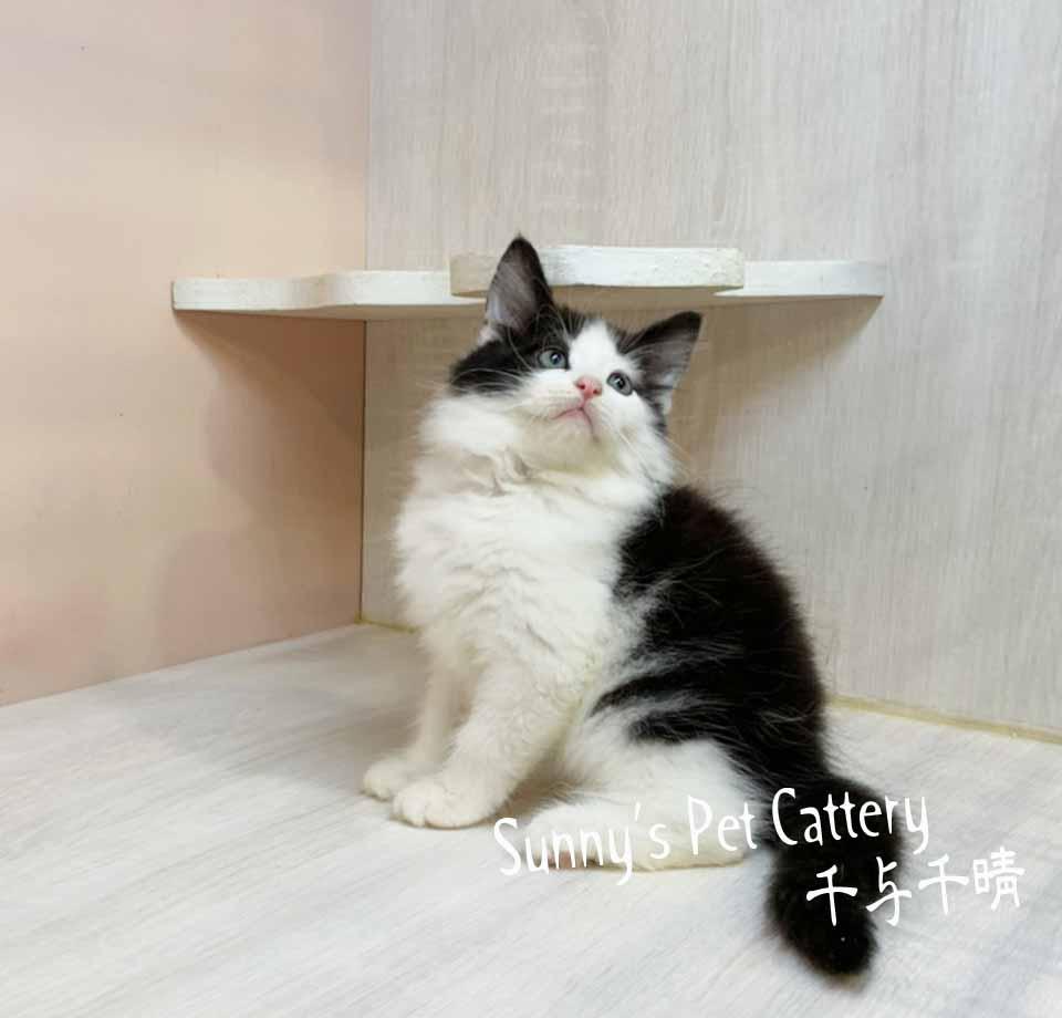 千晴寵物坊/黑白賓士挪威森林貓