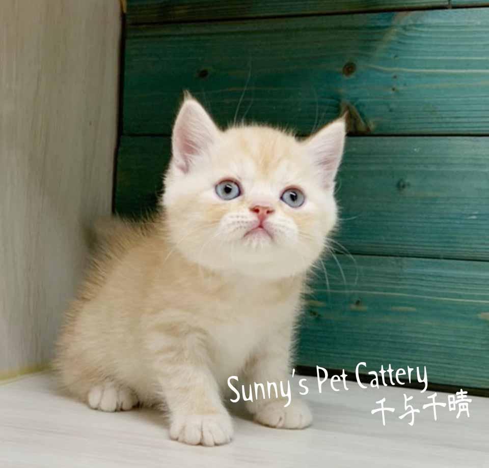 千晴寵物坊/香醇奶油白英國短毛貓