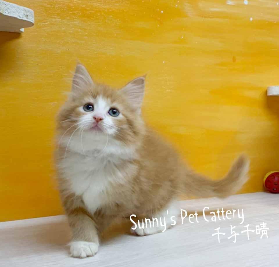 千晴寵物坊/紅白賓士挪威森林貓