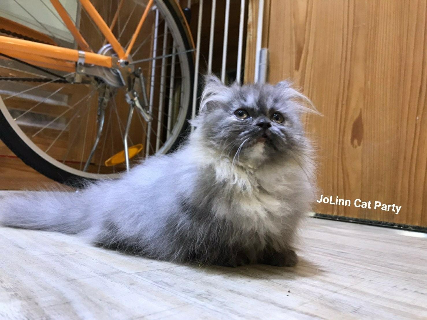 貓咪派對/藍底奶油花 小步舞曲 松鼠喵