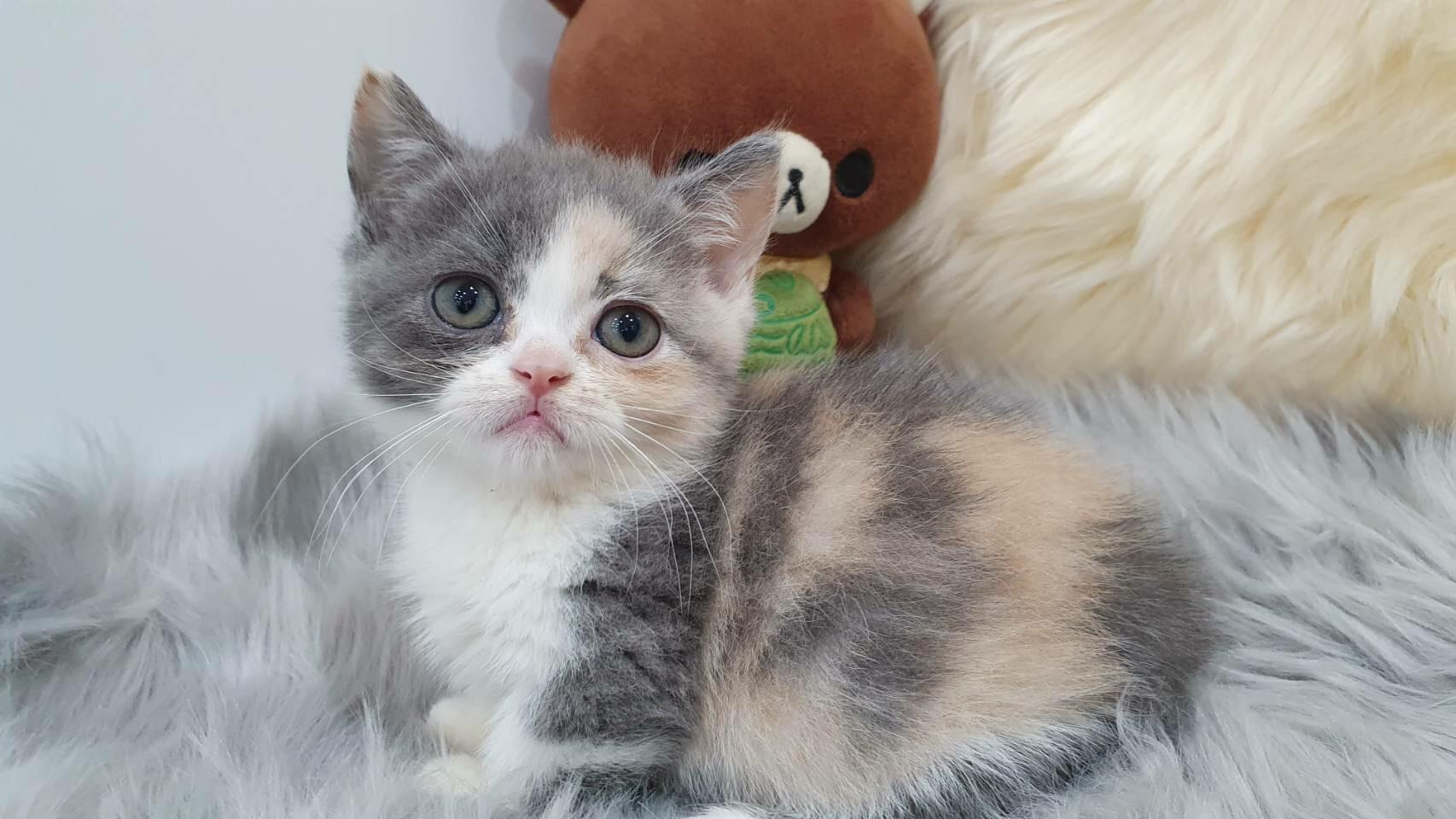 朵貓貓旅館/三花曼赤肯小公主