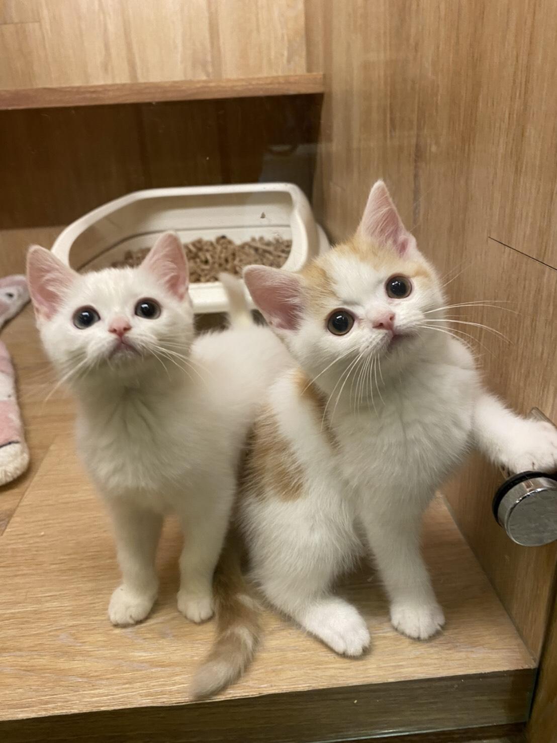 朵貓貓旅館/橘白英短+白英短