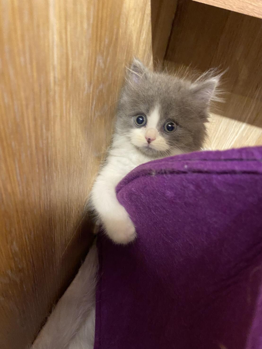 朵貓貓旅館/藍白賓士波斯小王子