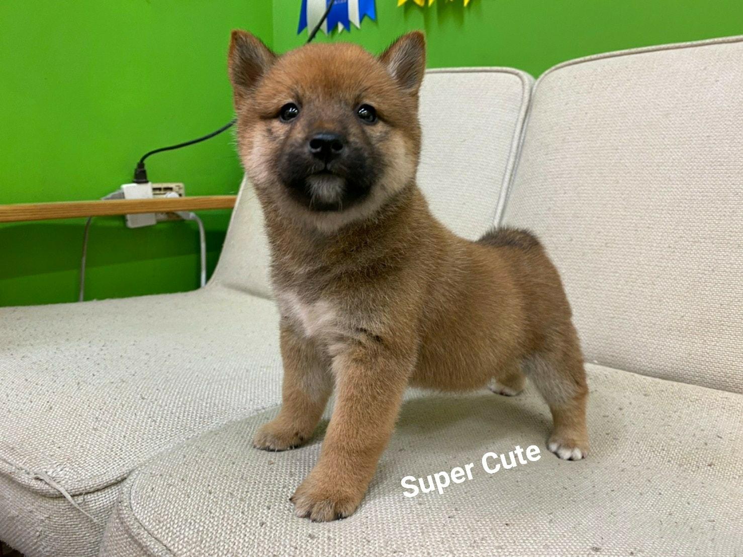 超可愛名犬社/超可愛的赤柴寶寶