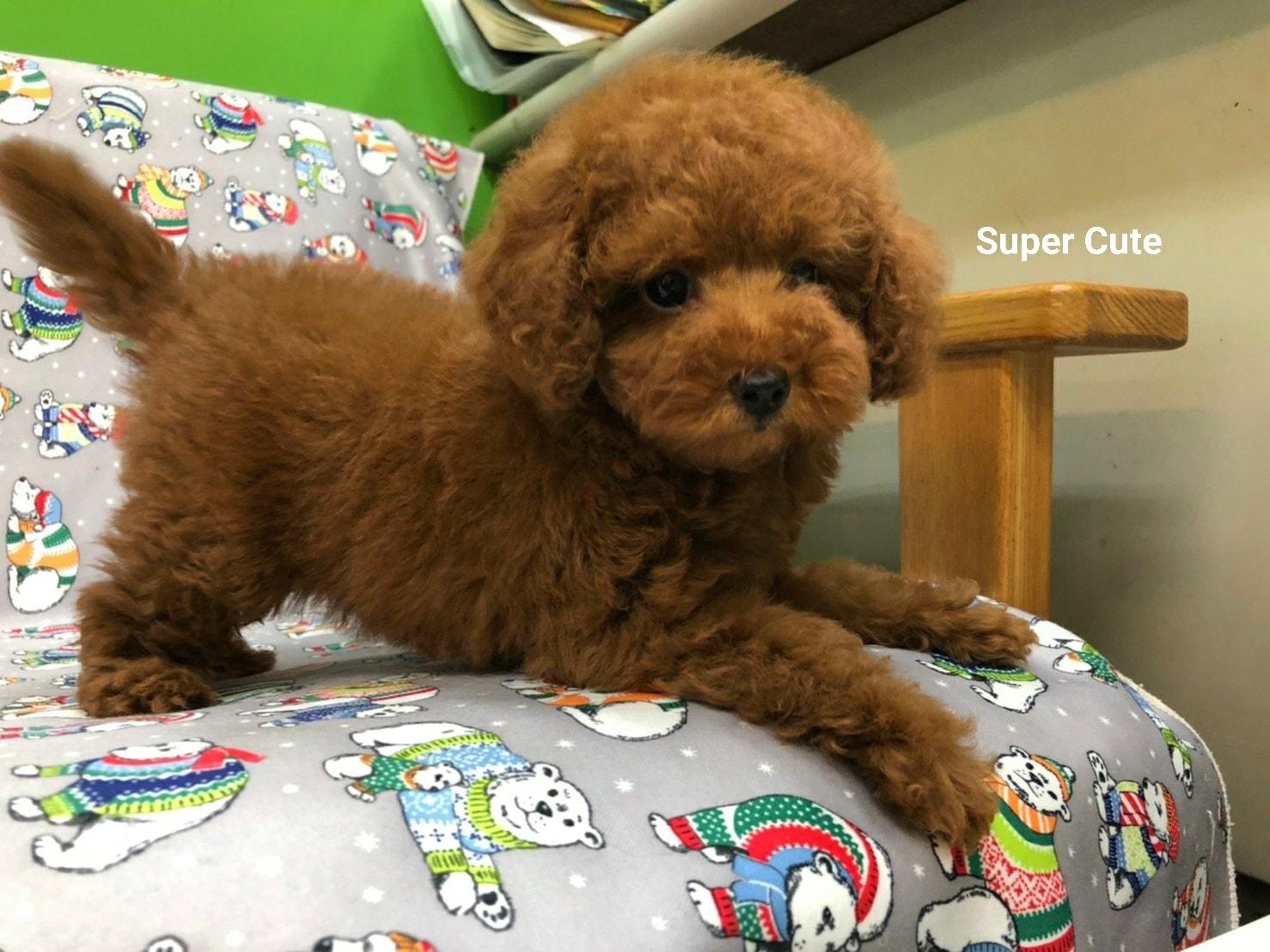 超可愛名犬社/超可愛的紅貴賓寶寶