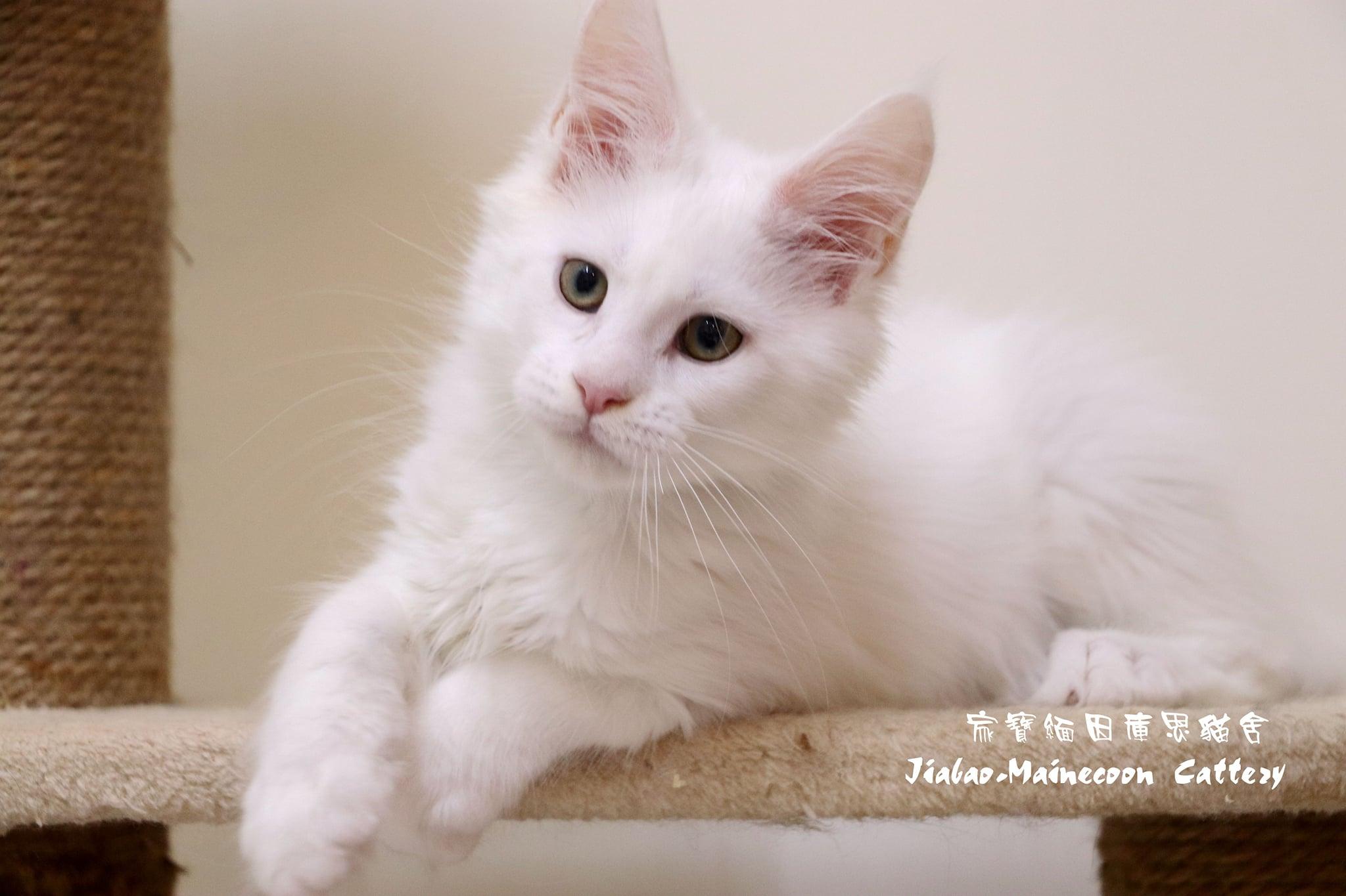 家寶寵物/白緬因寶寶