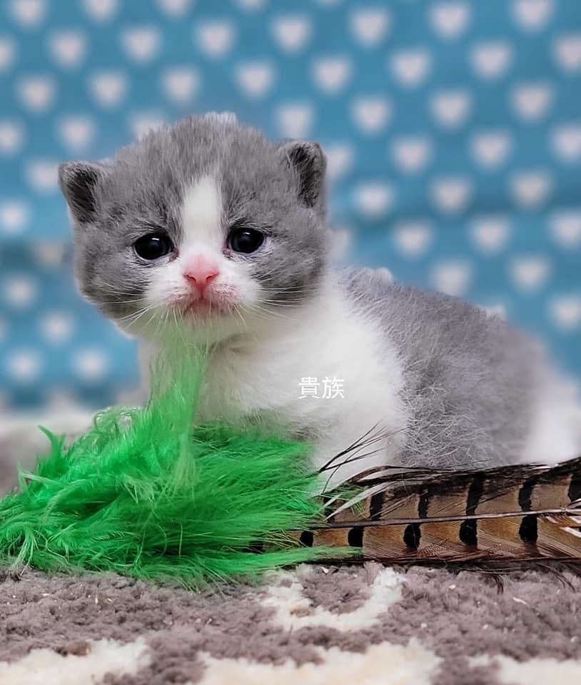 貴族寵物坊/胖嘟嘟藍白賓士英短