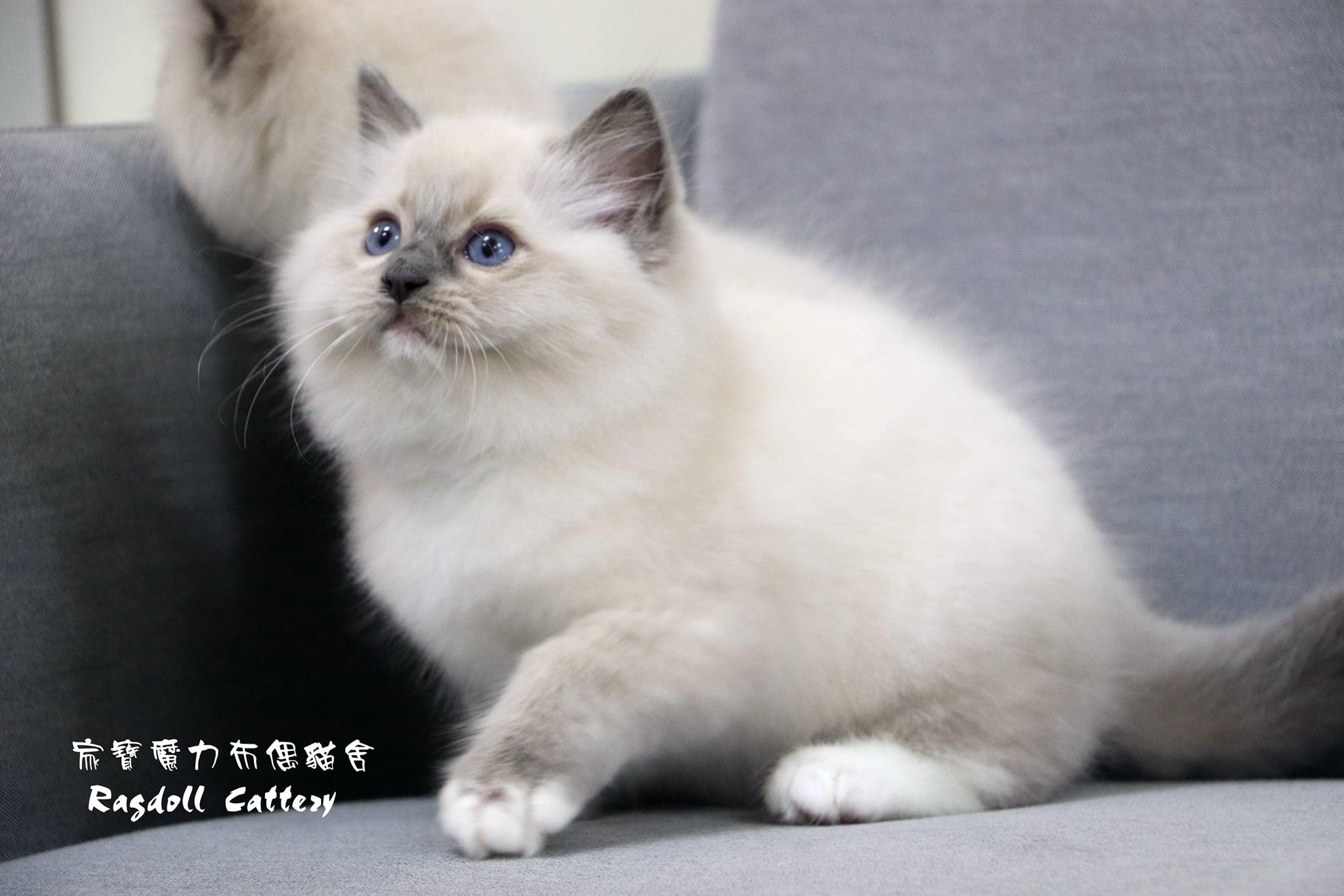 家寶寵物/藍手套布偶貓