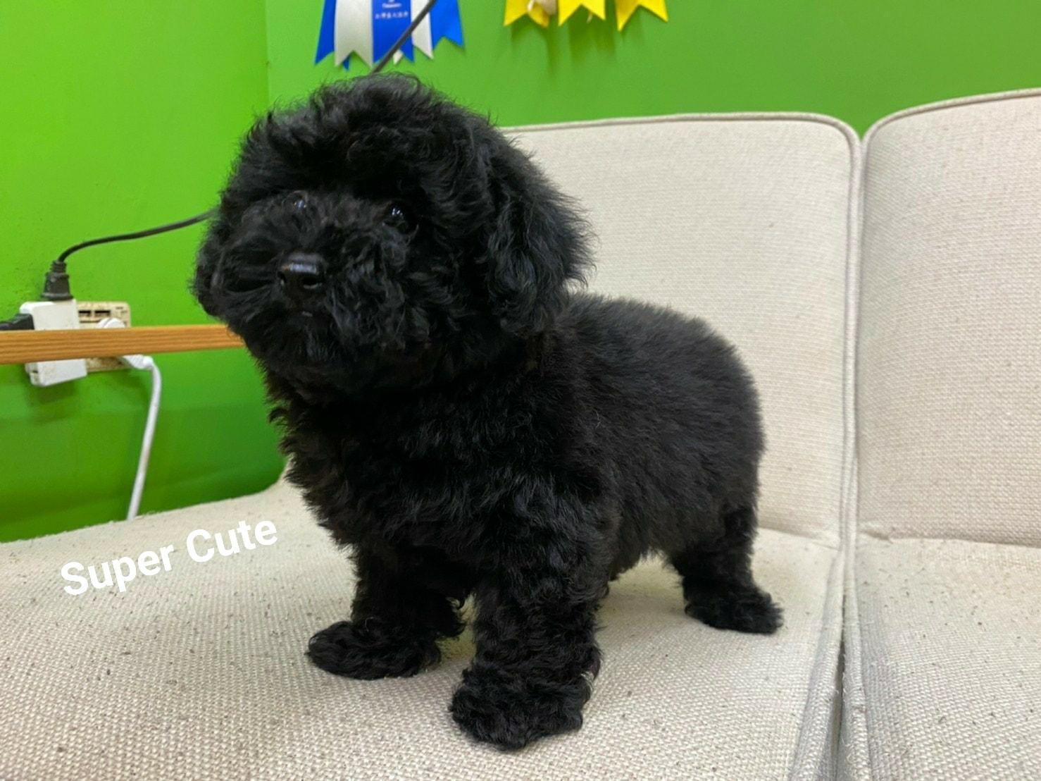 超可愛名犬社/超可愛的黑貴賓寶寶