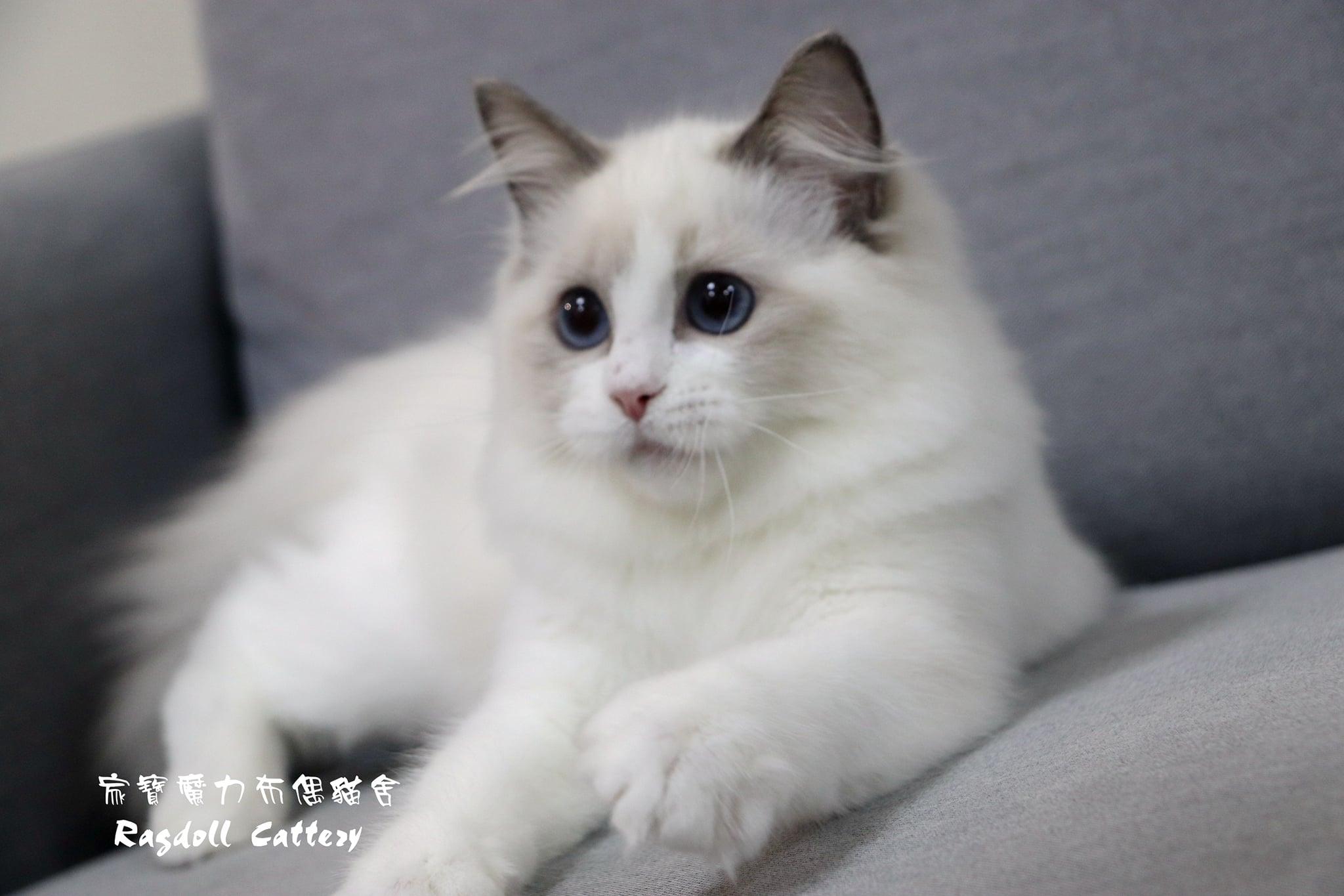 家寶寵物/藍雙色布偶貓