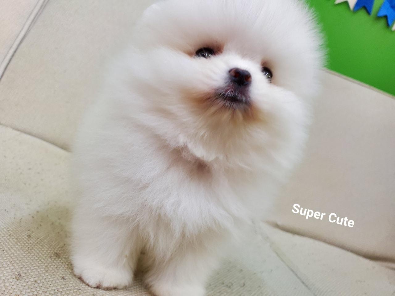 超可愛名犬社/松鼠白博美妹妹