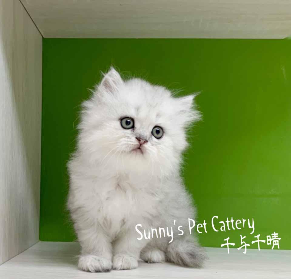 千晴寵物坊/銀白色金吉拉蓬蓬小毛怪