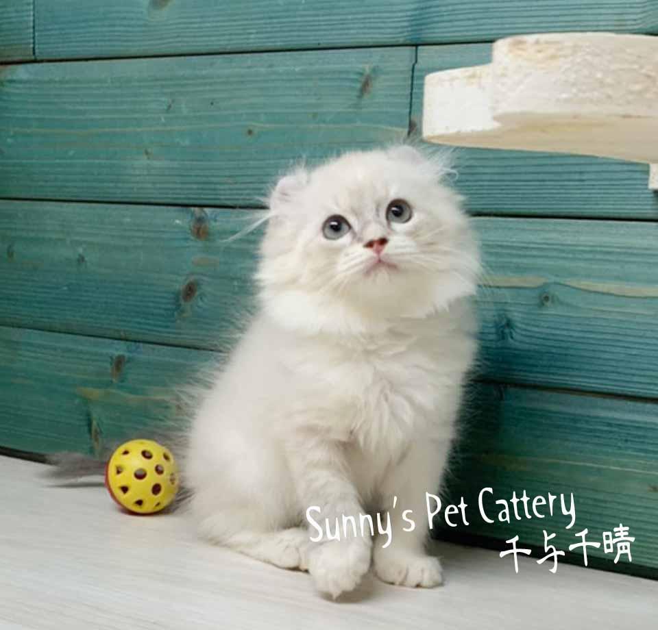 千晴寵物坊/藍山貓紋TabbyGirl捲耳貓