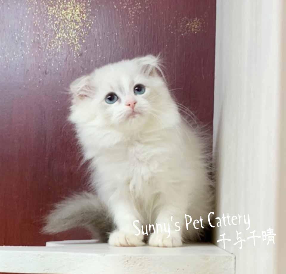 千晴寵物坊/秀氣迷人藍山貓紋折耳妹妹