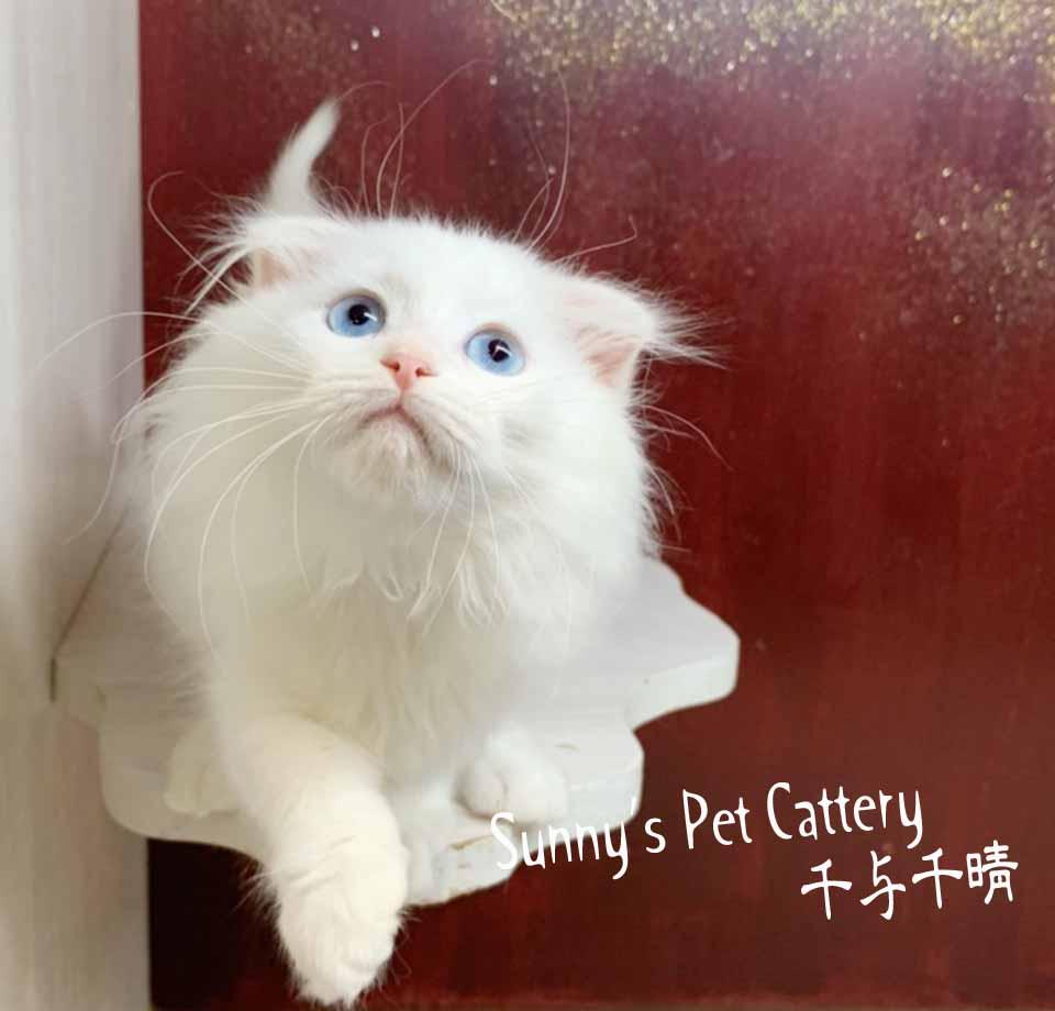 千晴寵物坊/奶油端子CreamPoint折耳貓
