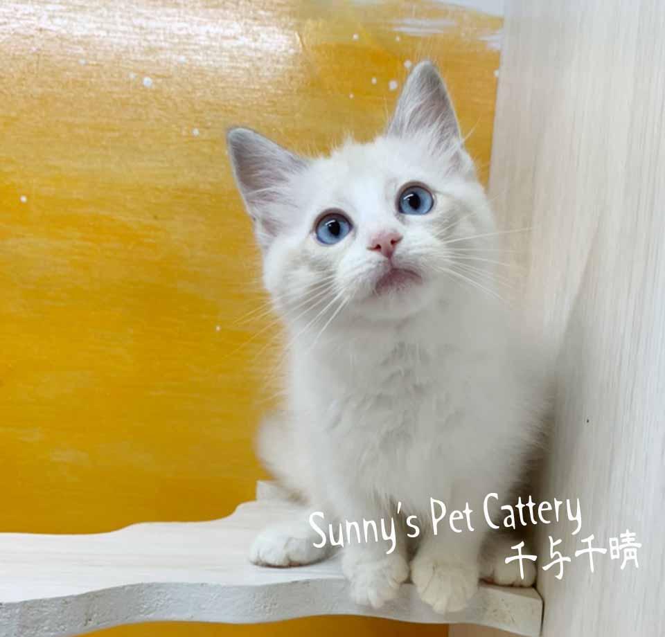 千晴寵物坊/藍雙色山貓紋布偶妹妹