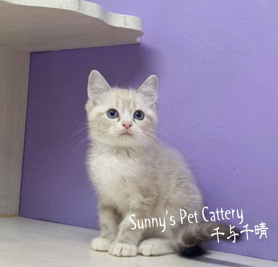 千晴寵物坊/海豹山貓重點色 英國短毛貓