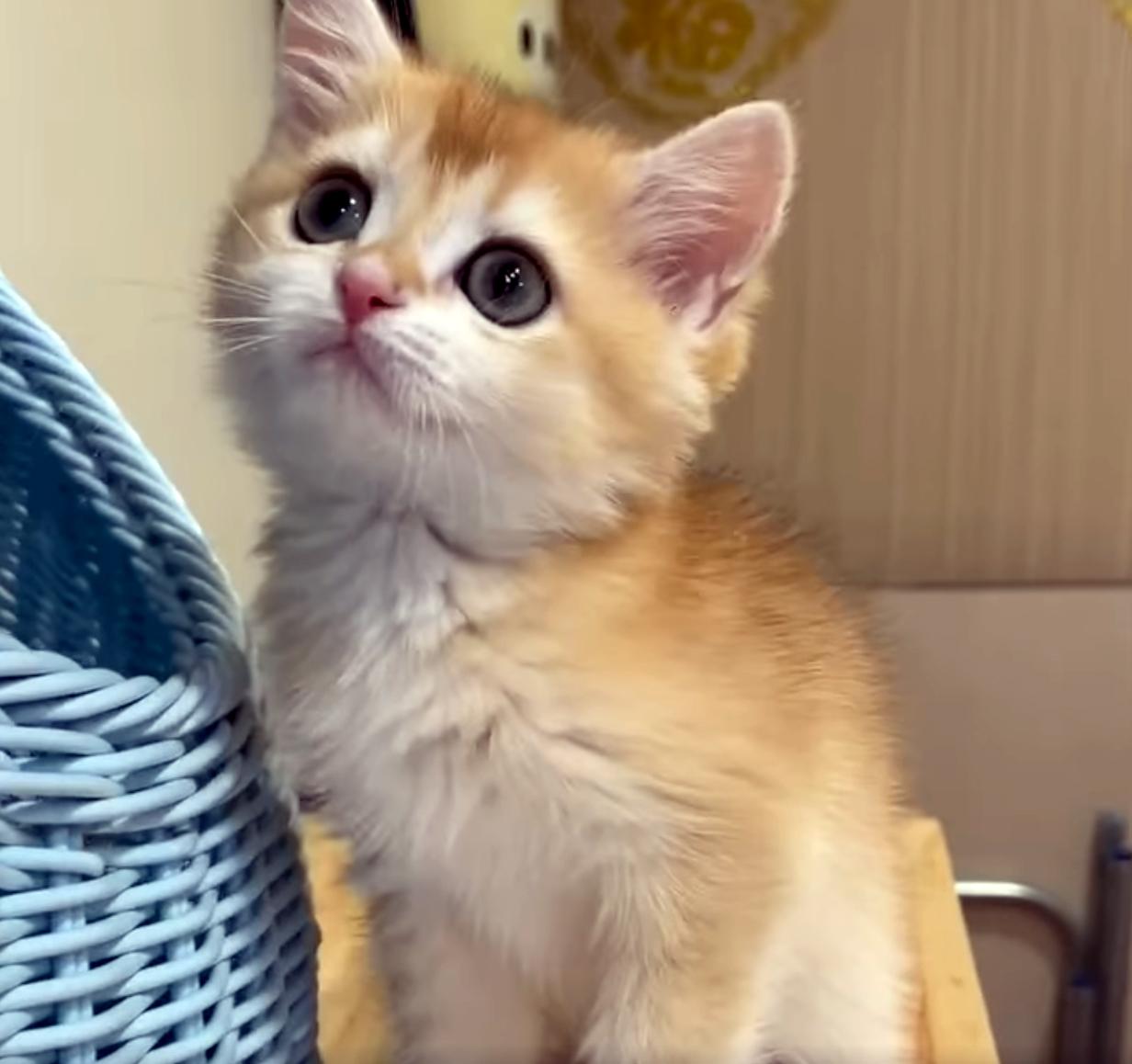 嘿皮爾英短貓舍/ny12淺黑金色妹妹