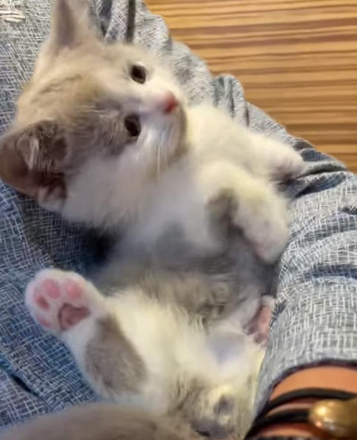 嘿皮爾英短貓舍/紫丁香白阿萌小弟