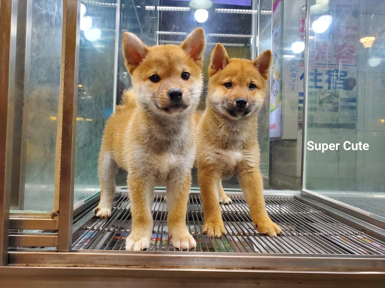 超可愛名犬社/超可愛的赤柴姐妹花