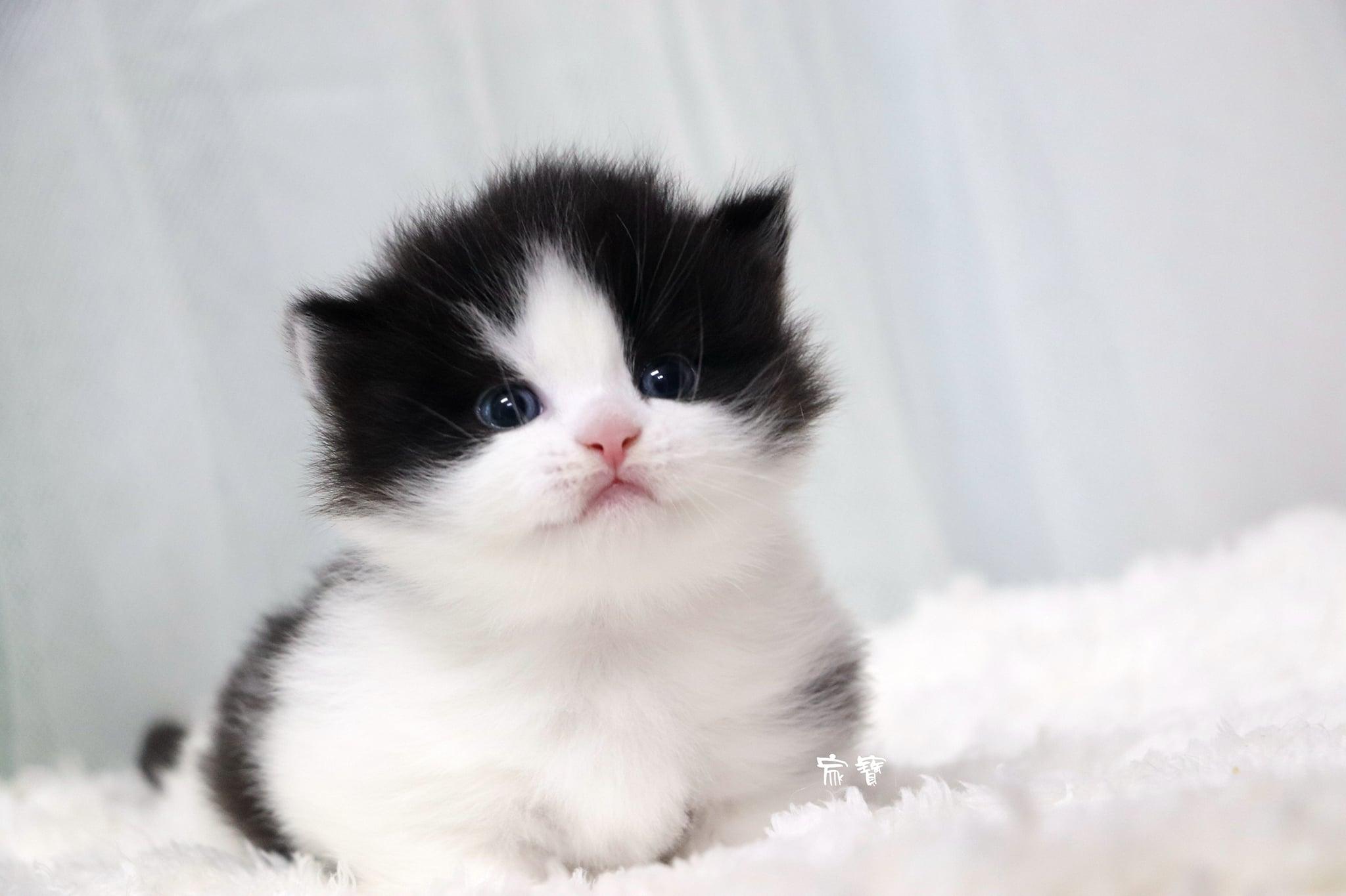 家寶寵物/黑白賓士小步舞曲短腿貓