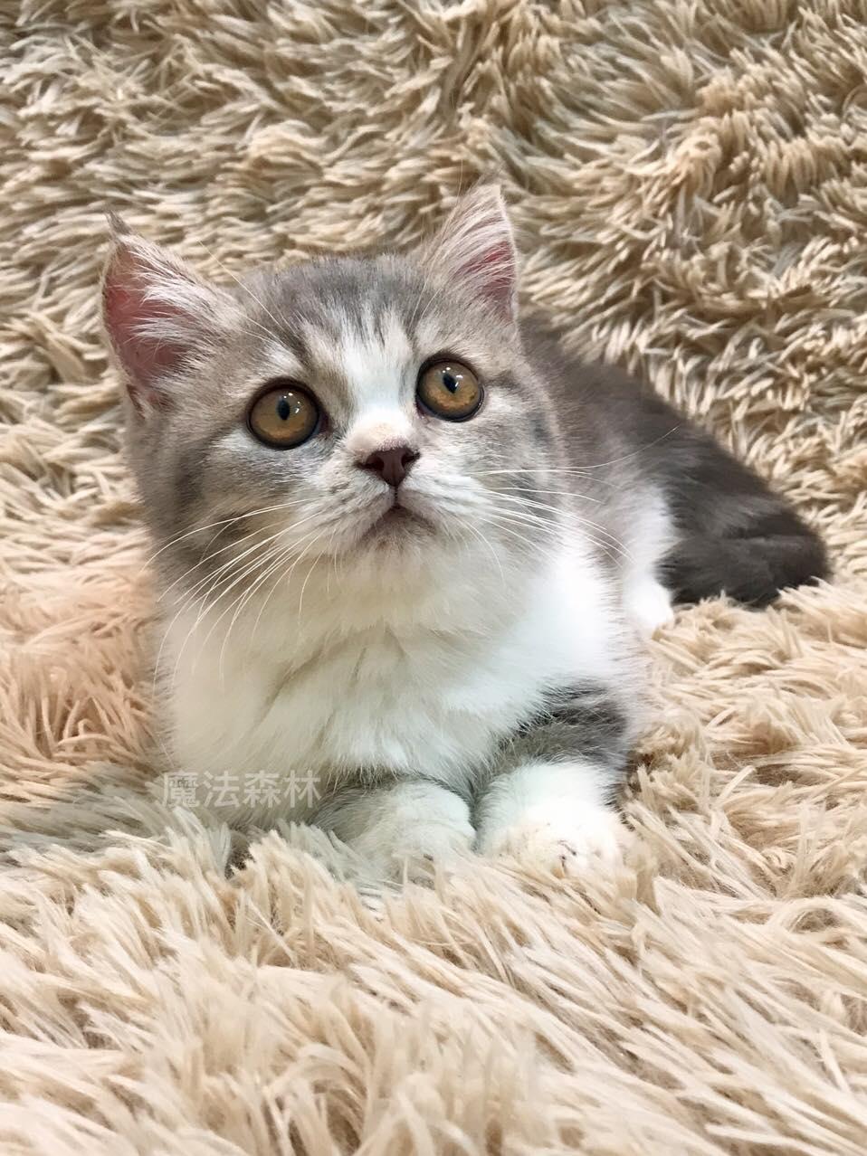 魔法森林/藍虎斑加白 短腿貓花美男