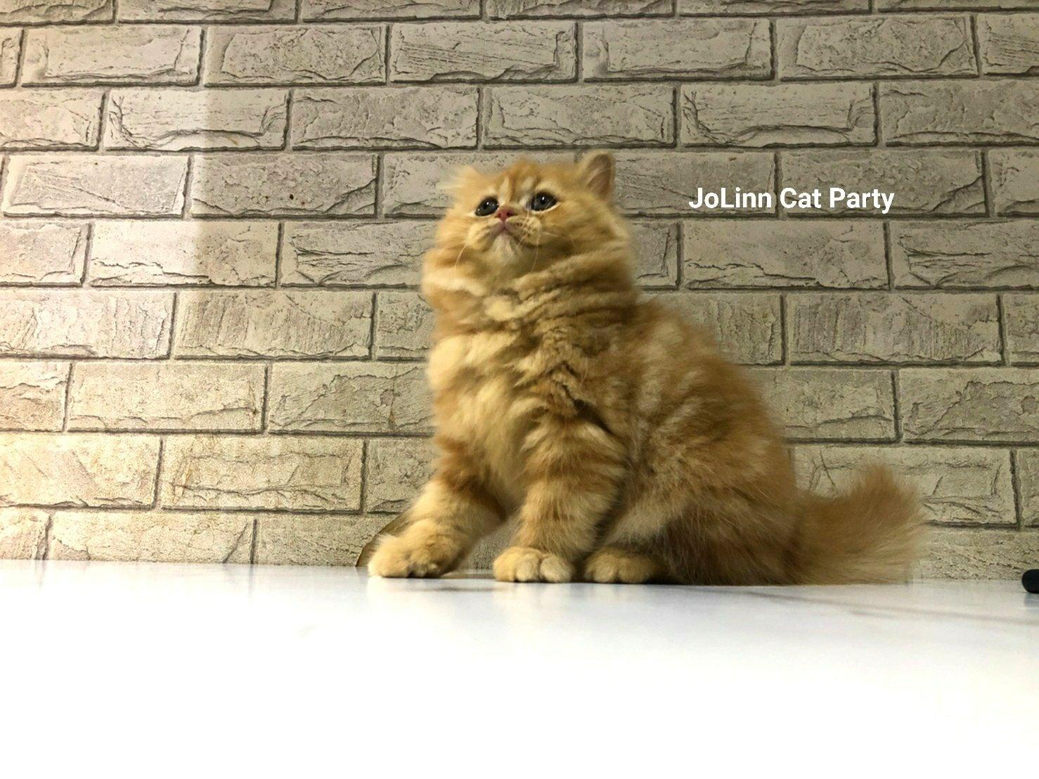 貓咪派對/橘貓 英國長毛貓 女生
