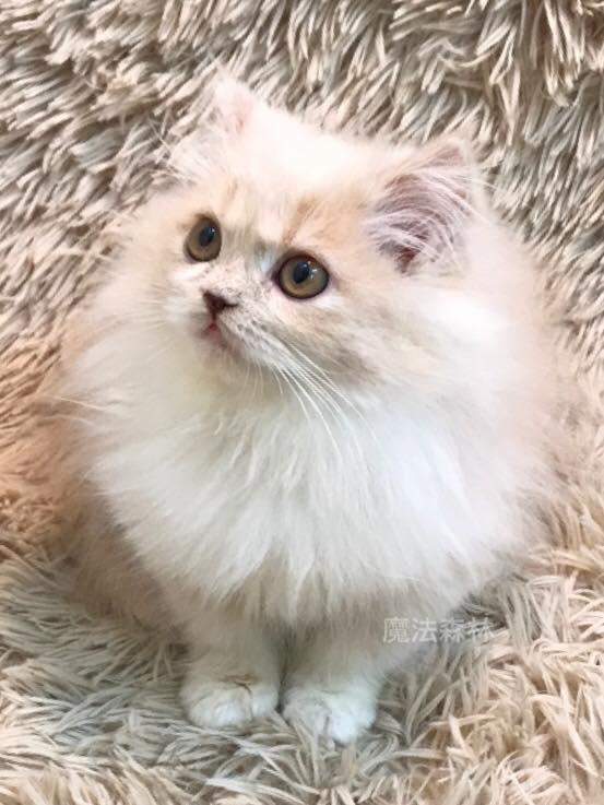魔法森林/奶油白領巾 非標準小步舞曲貓