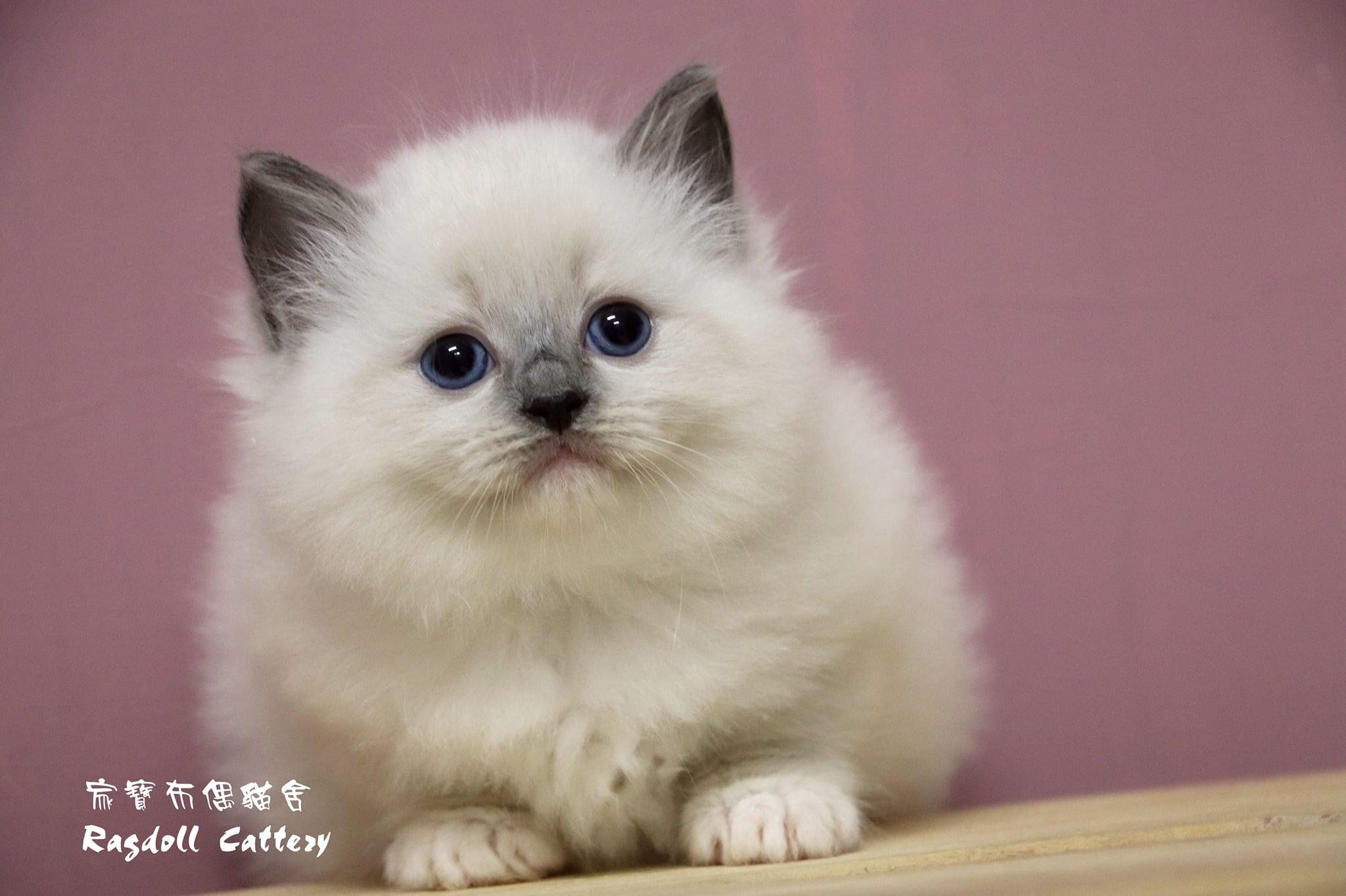 家寶寵物/藍手套布偶貓女生