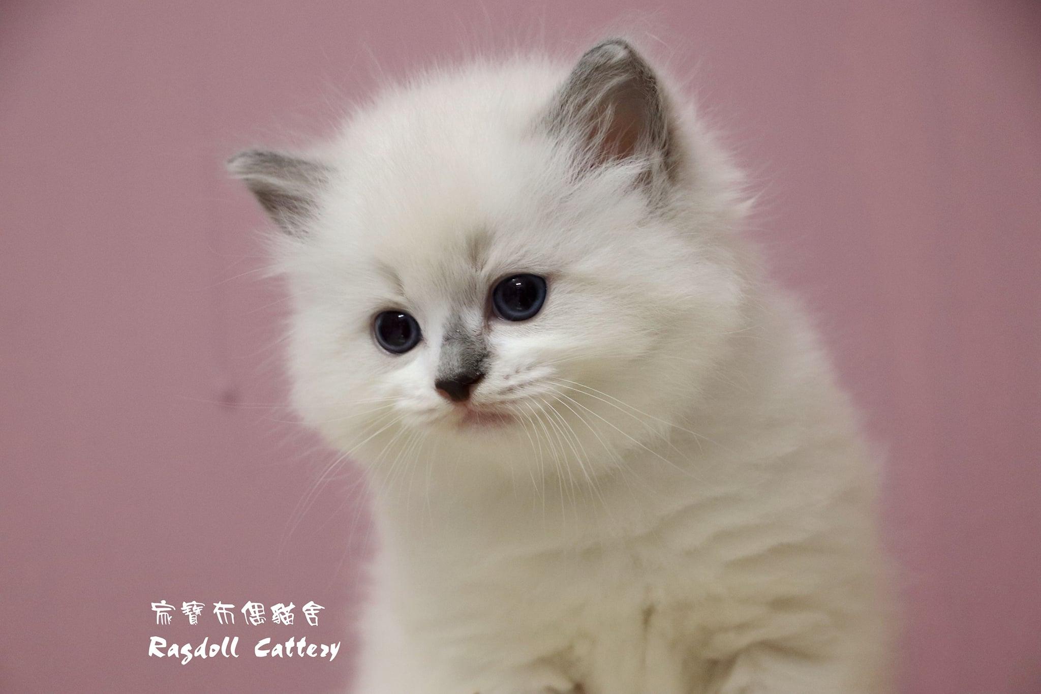 家寶寵物/藍雙色妙鼻貼 布偶貓男生